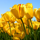 Tulips micro